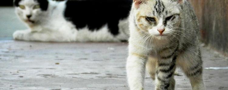Bệnh giảm bạch cầu ở mèo