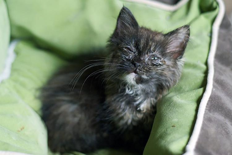 Các bệnh nguy hiểm thường gặp ở mèo con