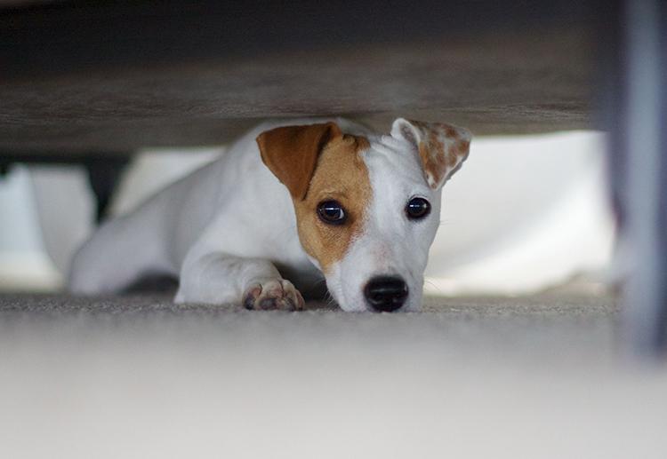 chó đi bậy trong nhà