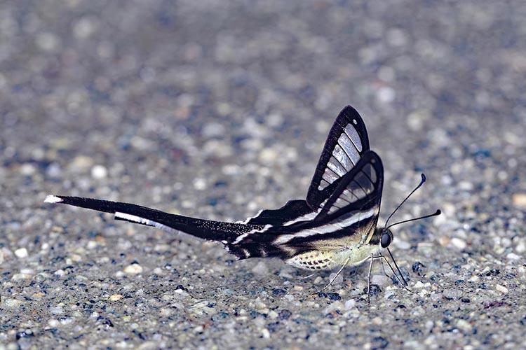 bướm rồng đuôi trắng