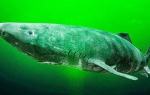 Cá mập 500 năm tuổi