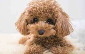 Chó Poodle MyPet