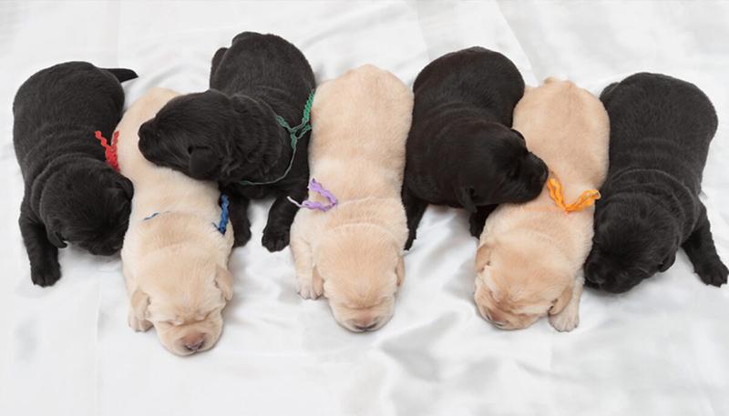 Chó Labrador đẻ kỷ lục