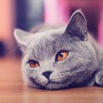 Mèo Anh lông ngắn MyPet