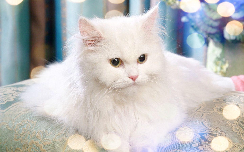 Mèo Ba Tư MyPet