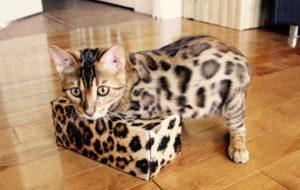 Mèo Bengal MyPet