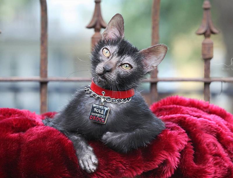 Mèo Lykoi MyPet