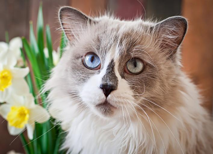 Mèo Ragdoll MyPet