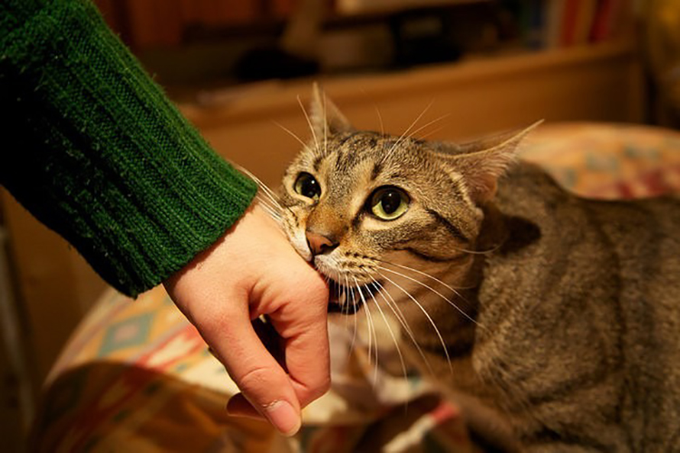Mèo cắn