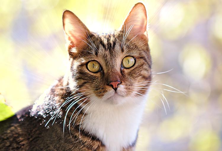 mèo đực sau triệt sản