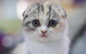 Mèo tai cụp Scottish