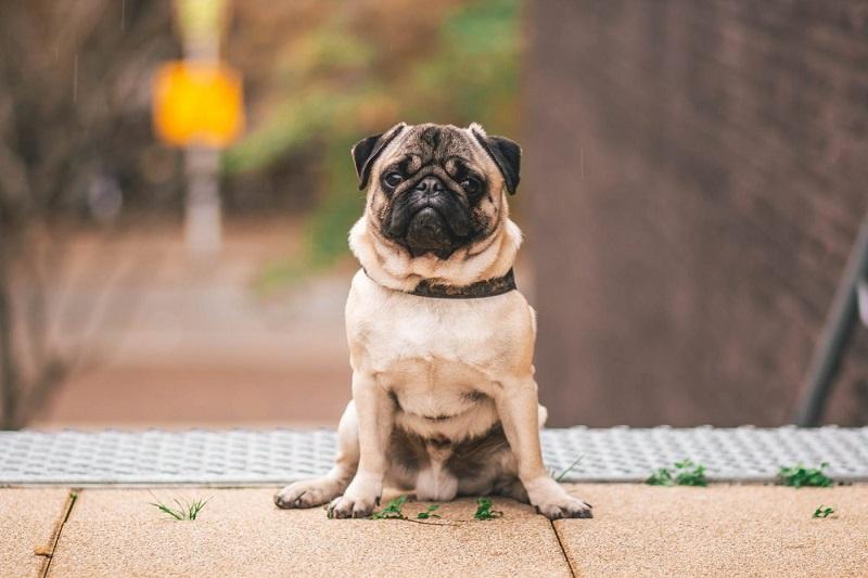Chó Pug mặt xệ có nguồn gốc xuất xứ từ Trung Quốc