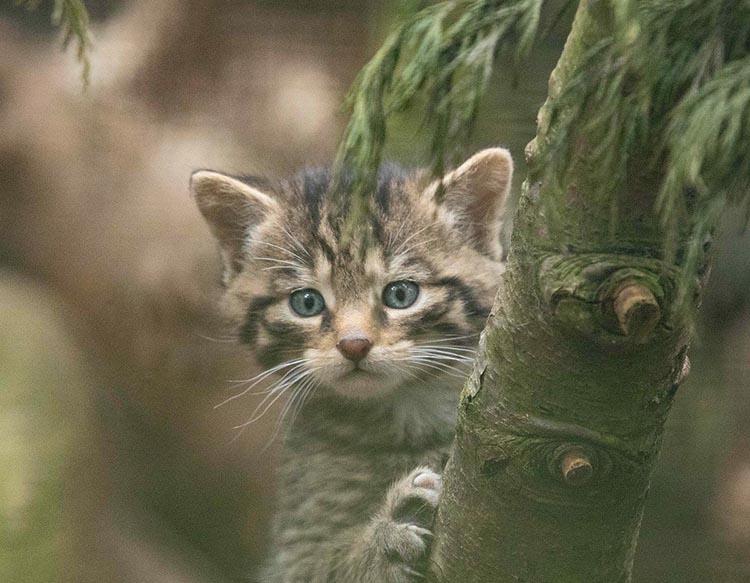 Mèo con mắt xanh