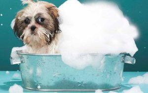 tắm cho chó