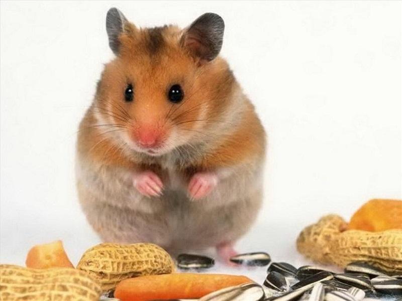 chuột hamster