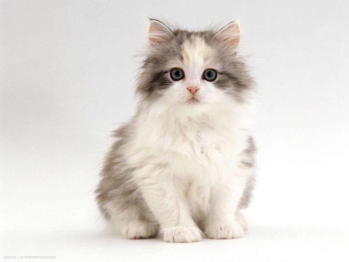 mèo chinchilla