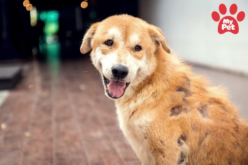 Các bệnh của chó ở bệnh viện thú cưng Mypet