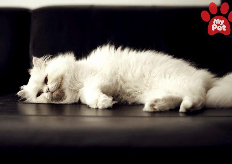 Mèo Ba Tư lười biếng