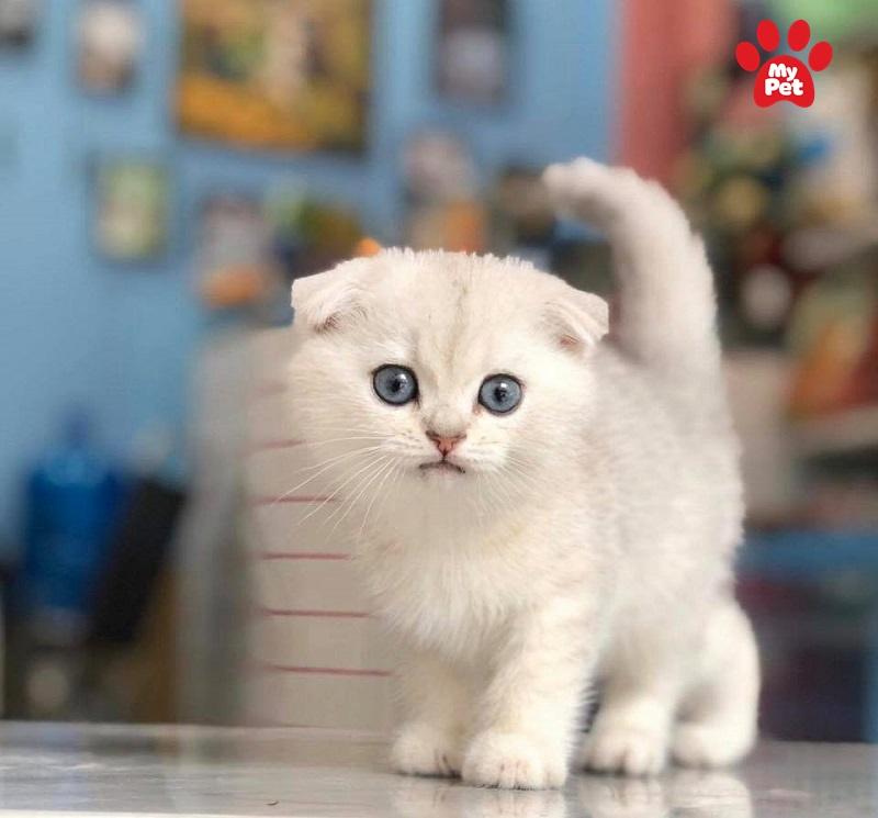 Ai có thể cưỡng lại sự dễ thưỡng này của mèo tai cụp?
