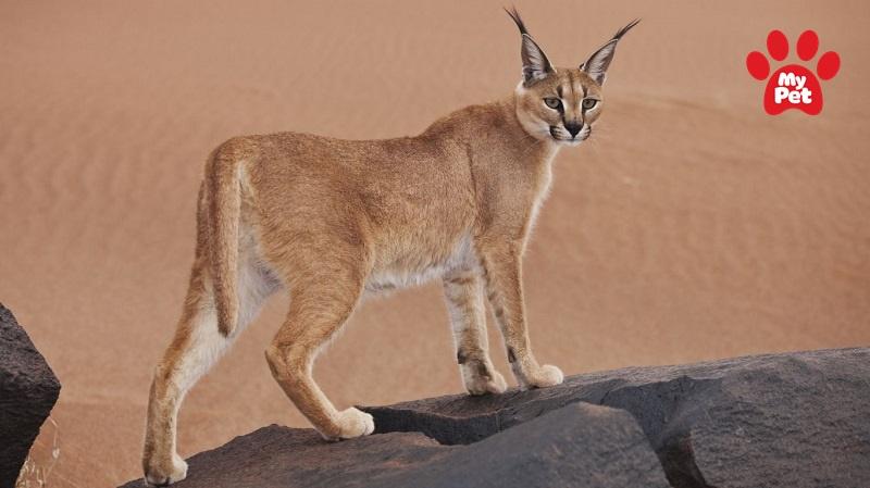 Carcal sở hữu ngoại hình to lớn so với các giống mèo khác