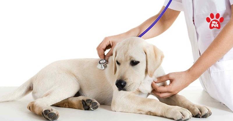 Bệnh sài sốt gây nguy hiểm ở chó