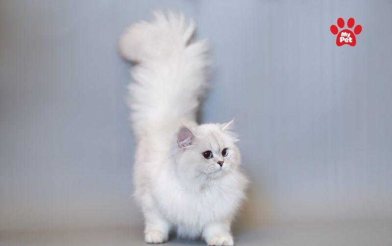 Mèo Anh lông dài sở hữu vẻ đẹp quý tộc khi khoác lên mình bộ lông trắng