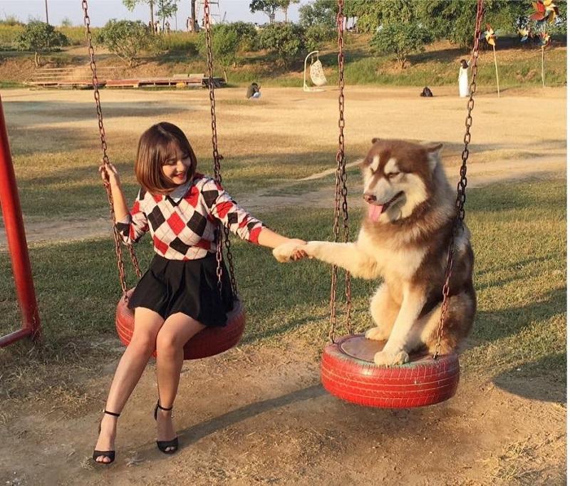 Mật Pet- Chú chó Alaska nổi tiếng trên mạng xã hội