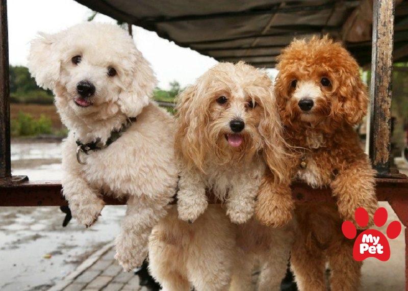 Các giống chó phổ biến tại Việt Nam