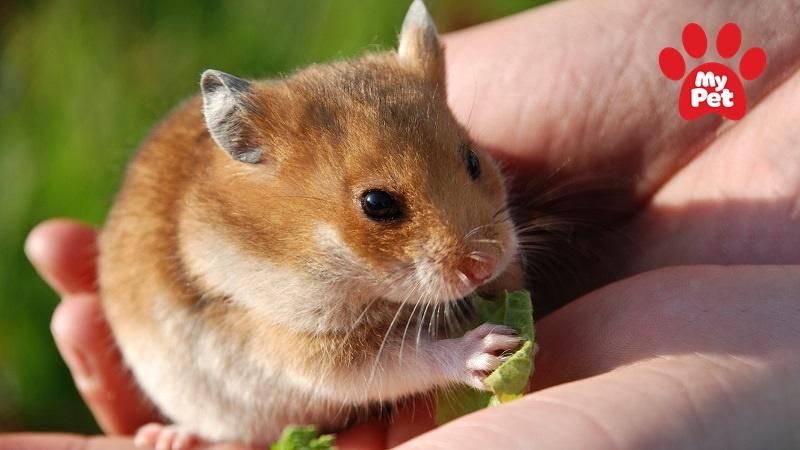 Chuột Hamster được nhiều người yêu thích lựa chọn làm thú cưng