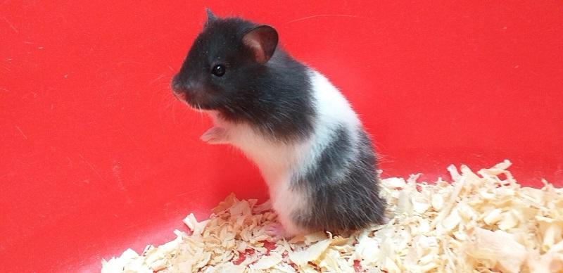 Chuột Hamster Campell bò sữa