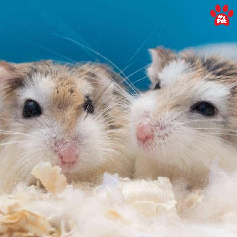 Hamster là loài thú cưng nhỏ bé, đáng yêu
