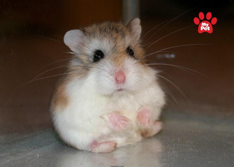 Chuột hamster robo lùn