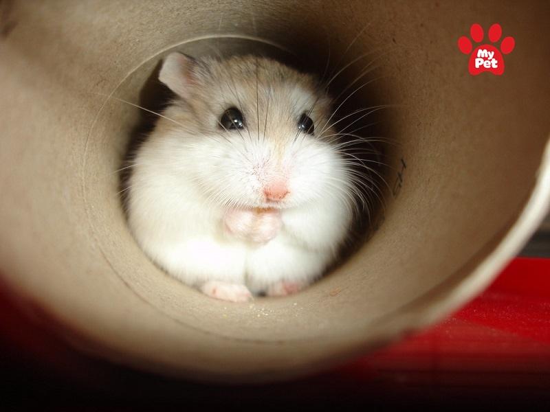 Roborovski là giống chuột hamster nhỏ nhất