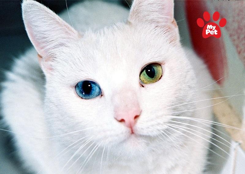 Đôi mắt hai màu đặc biệt của mèo Khao Manee
