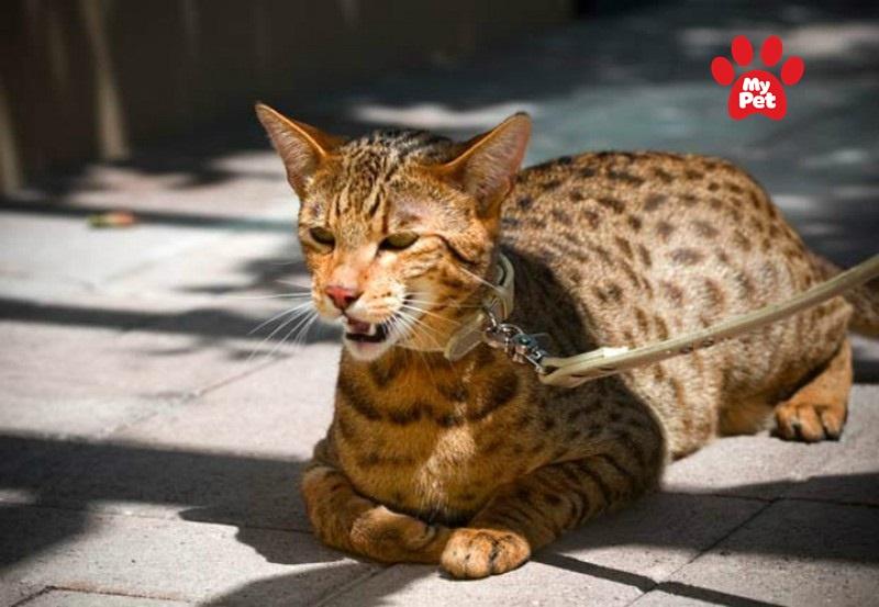 Giống mèo đắt đỏ bậc nhất thế giới