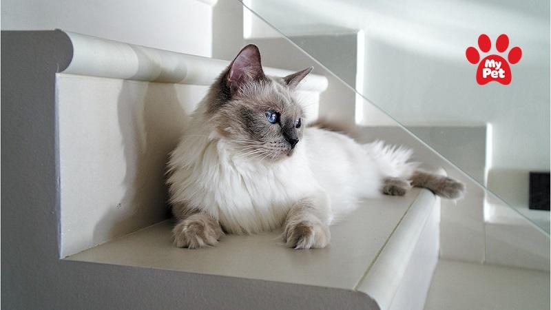 Các giống mèo quý tộc