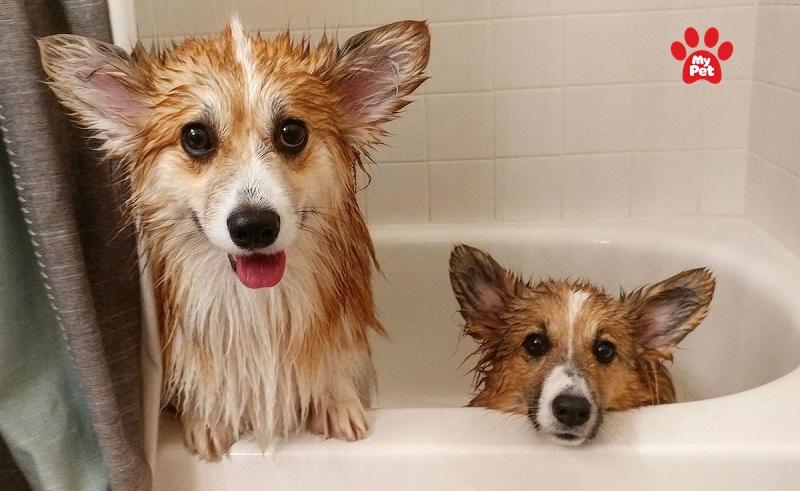Kinh nghiệm tắm cho chó tại nhà