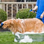 kinh nghiệm tắm cho chó chuẩn spa thú cưng