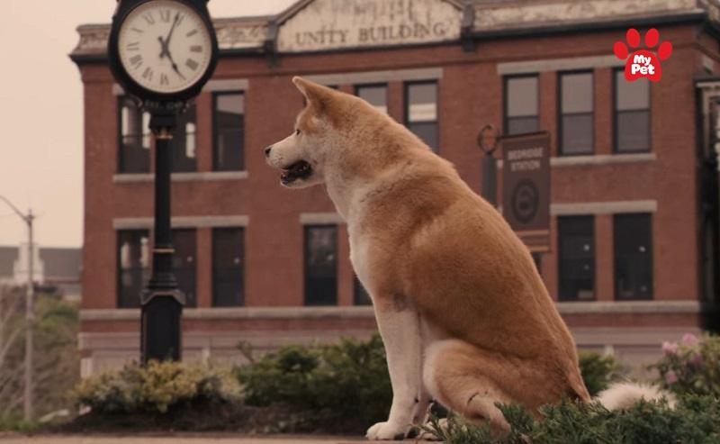 Chú chó trung thành Hachiko