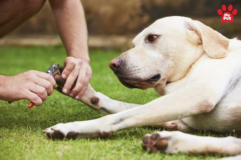 Có nên cắt móng chân cho chó hay không?