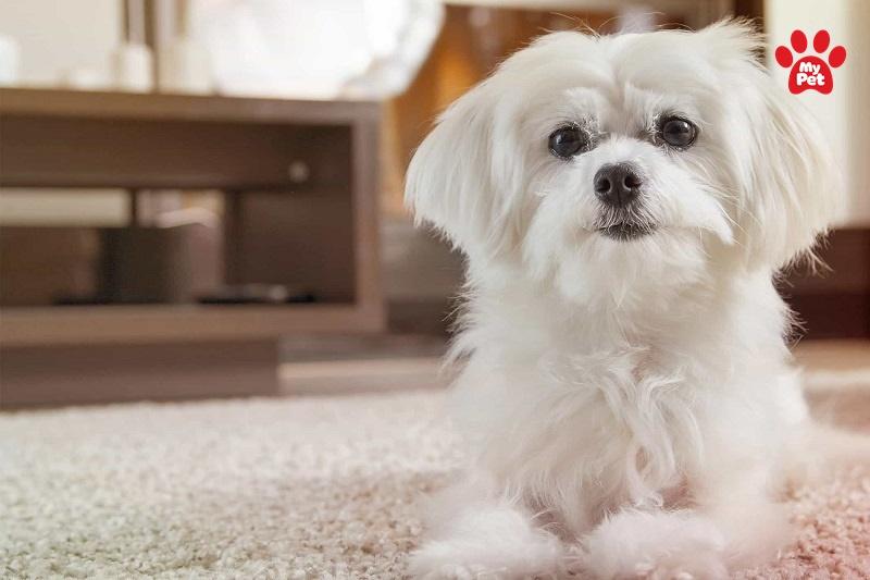 Vẻ đẹp quá đỗi kiêu sa của Maltese lông trắng