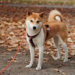 Các giống chó Nhật Bản