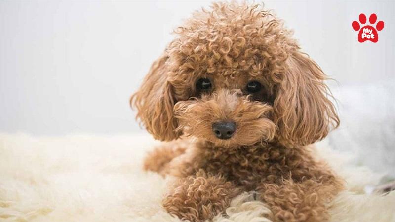 Poodle là giống chó lông xù phổ biến nhất tại nước ta