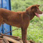 Chó H'mông cộc