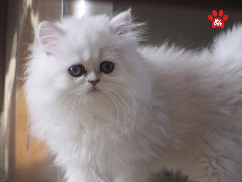 Giống mèo ba tư