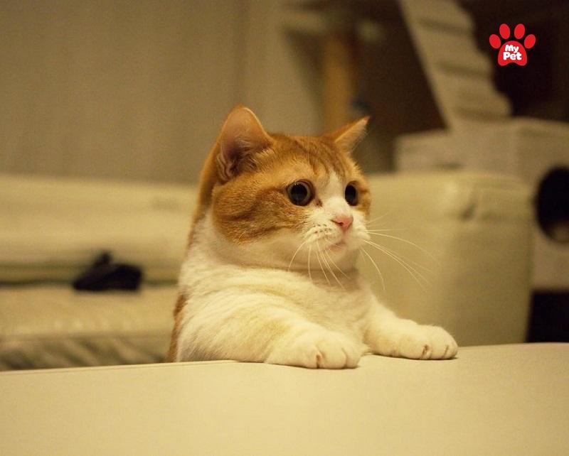 Mèo thuần chủng dĩ nhiên sẽ đắt hơn mèo lai