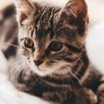 mèo mướp