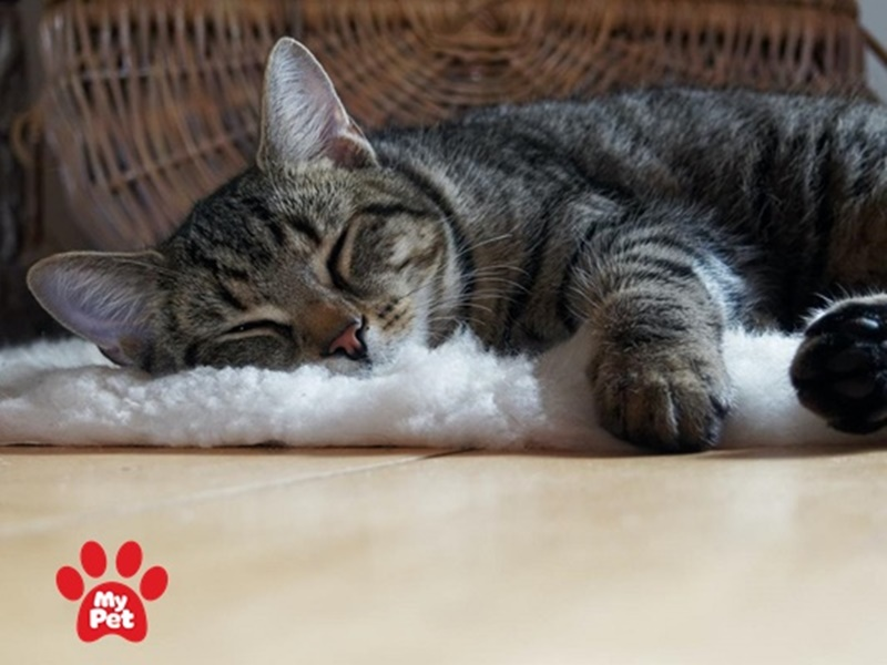 Ngủ là công việc yêu thích nhất của mèo mướp