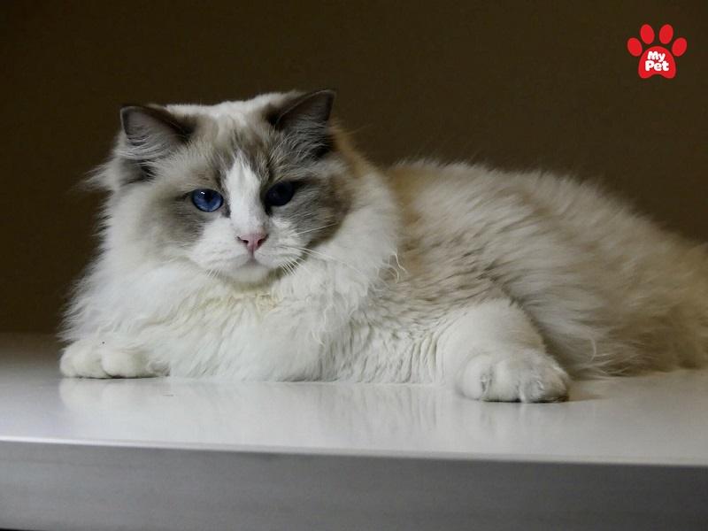 Mèo Ragdoll sở hữu ngoại hình xinh đẹp
