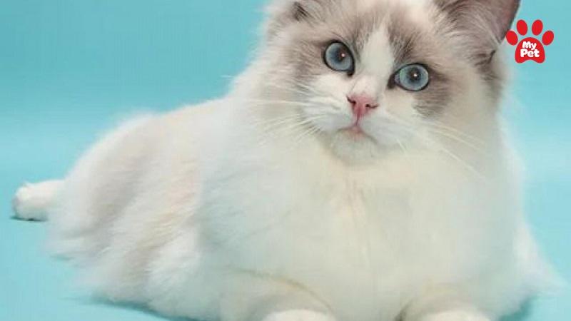 Mèo Ragdoll sở hữu đôi mắt xanh và bộ lông dài xinh đẹp